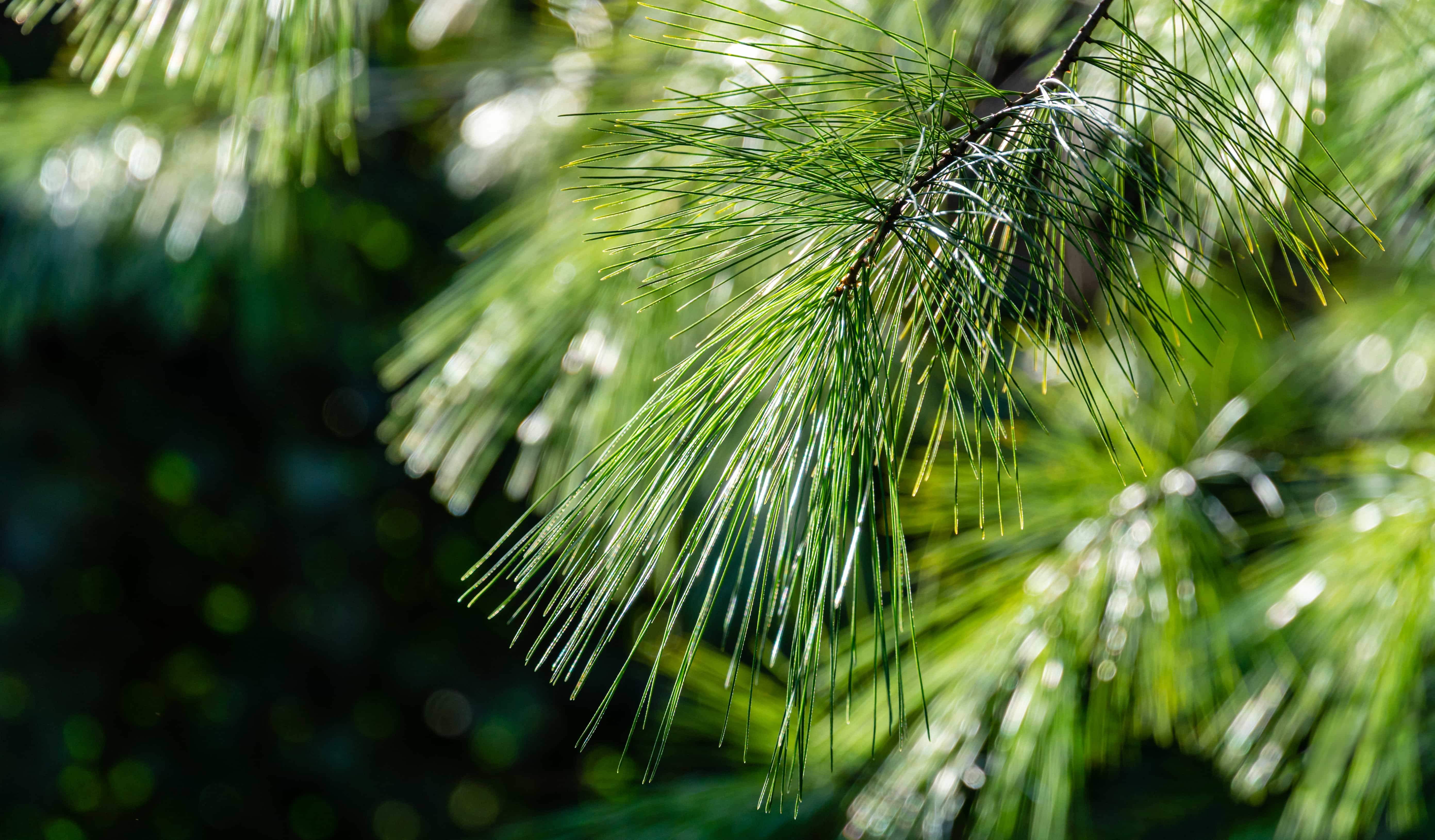 Close up of pine needles